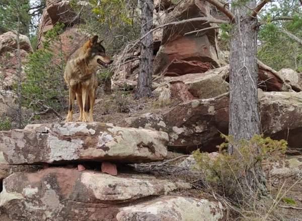 Lobo sobre peñasco